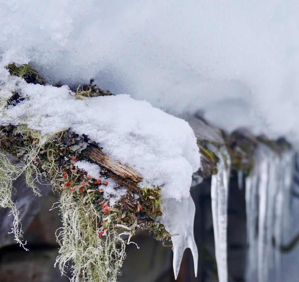 Flechten im Winter: Zeichen für gute Luft