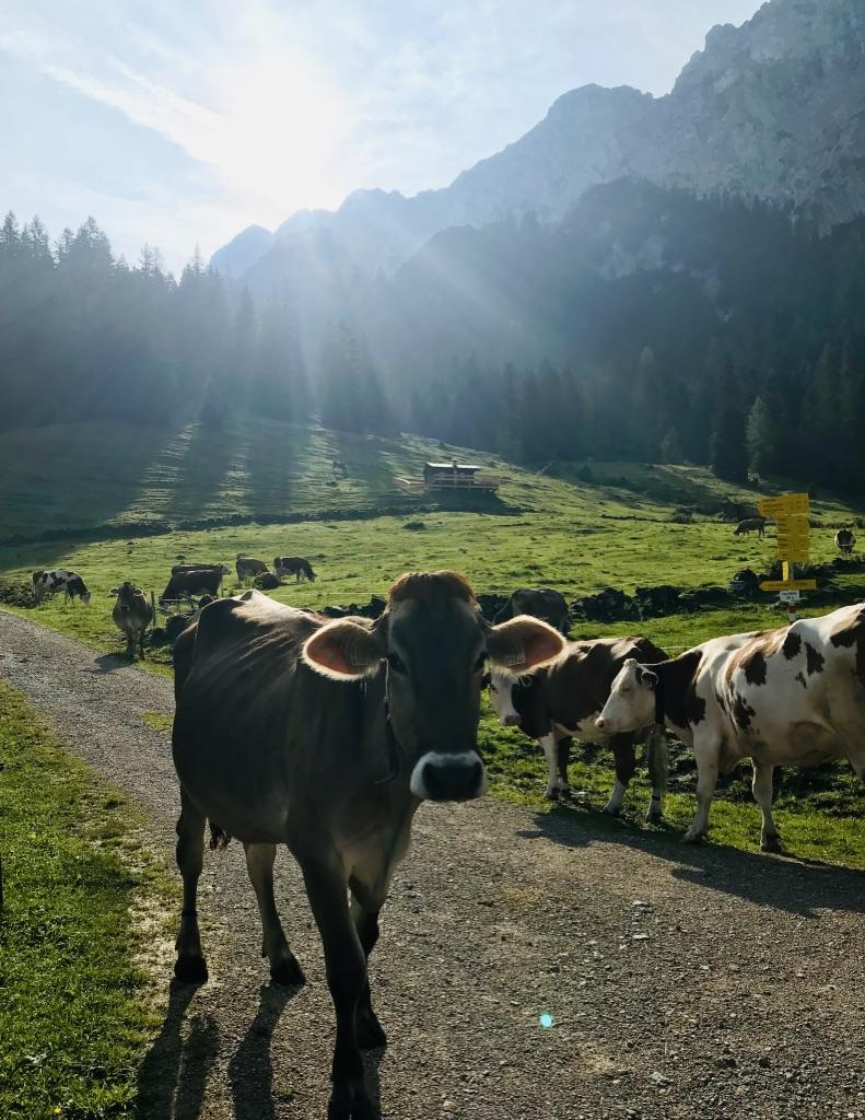 Alpenkühe vor Bergpanorama: Etappe 4 Kaisertour