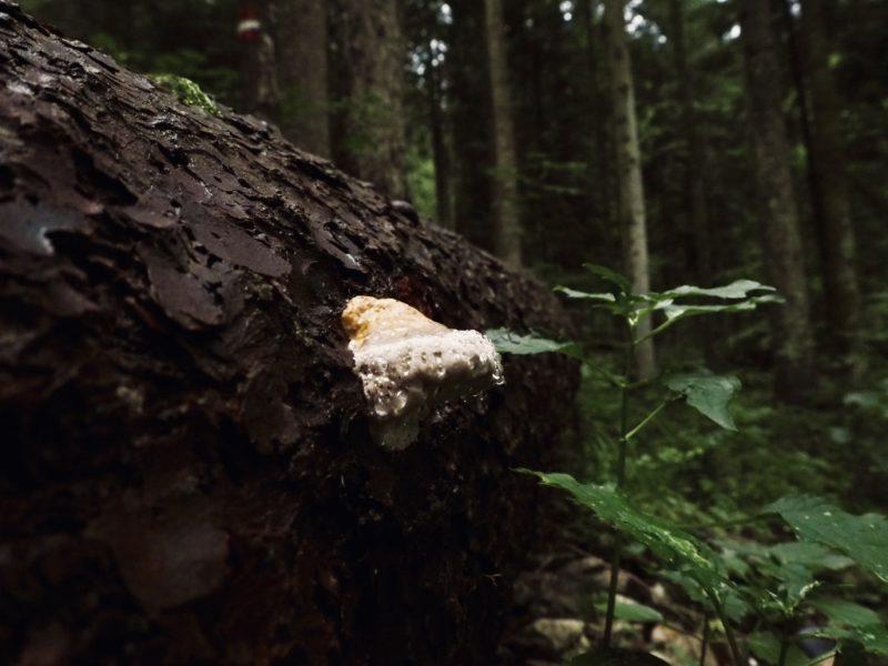 Pilze im Wald: Kaisergebirge