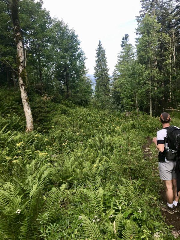 Vegetation im Kaisergebirge: Farne am Wegesrand