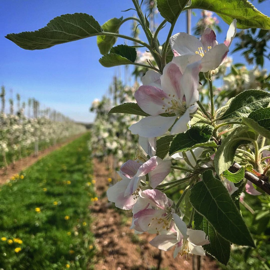Apfelfelder am Premiumwanderweg Rode Beek im Nationalpark de Meinige