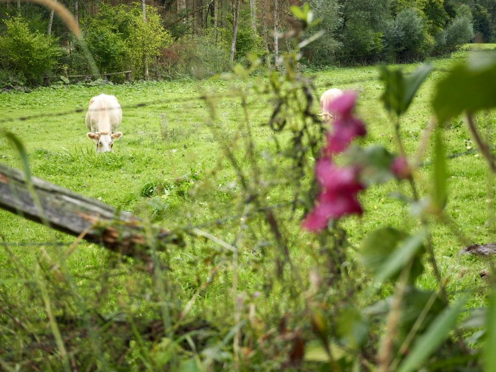 Kühe am Osterbergweg Lügde
