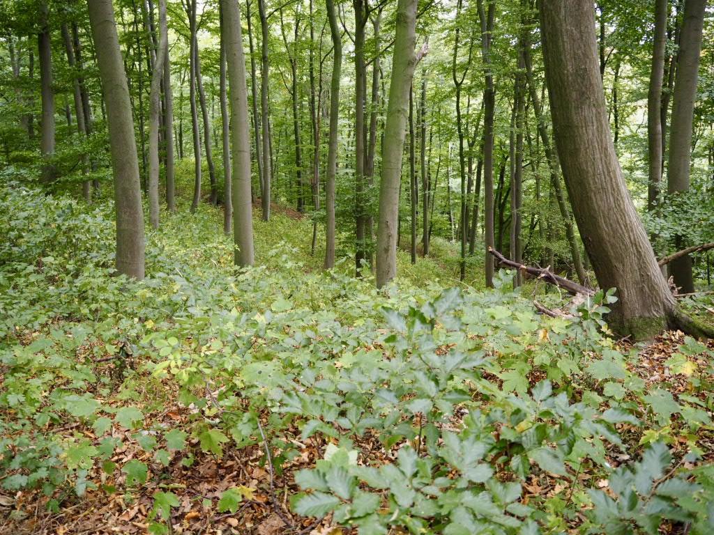 Buchenkeimlinge im Naturerbe-Wald Altenbeken