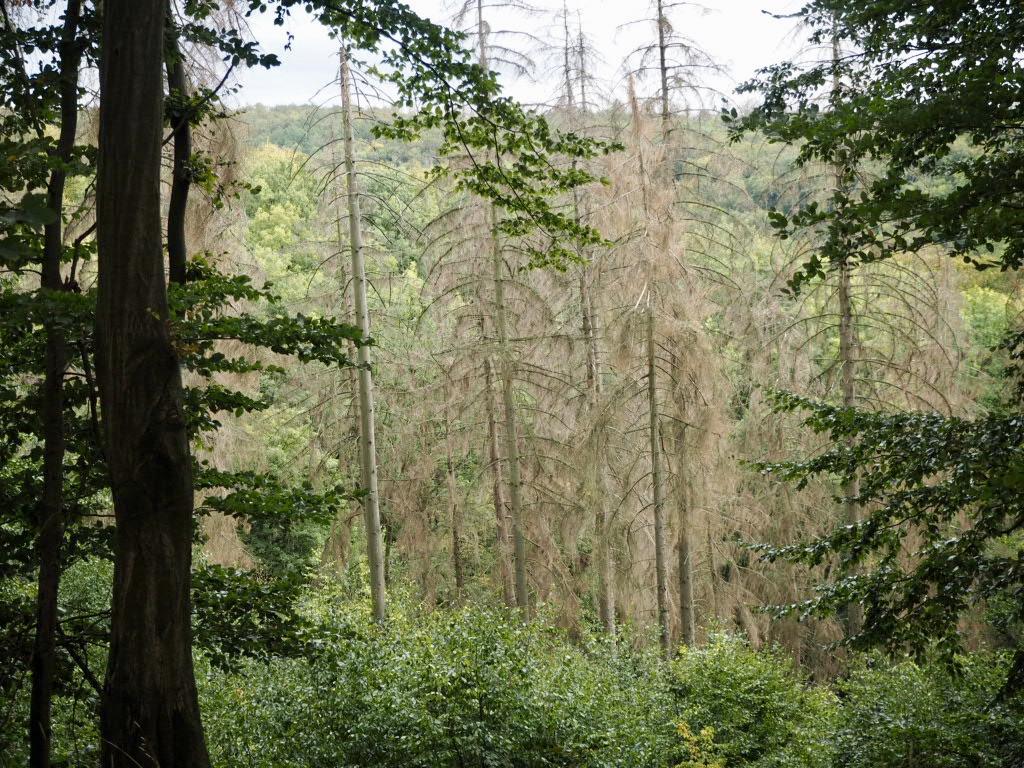 Fichtensterben Teutoburger Wald/Eggegebirge